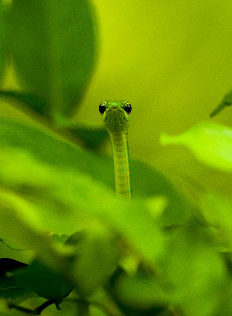 Secret Admirer by GrahamCooke - Reptiles Photo Contest