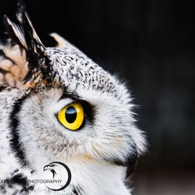 These owls are amazing and I'm always fascinated by their yellow eyes