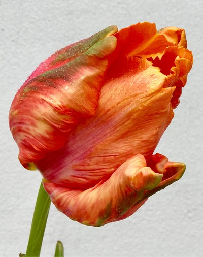 A french tulip