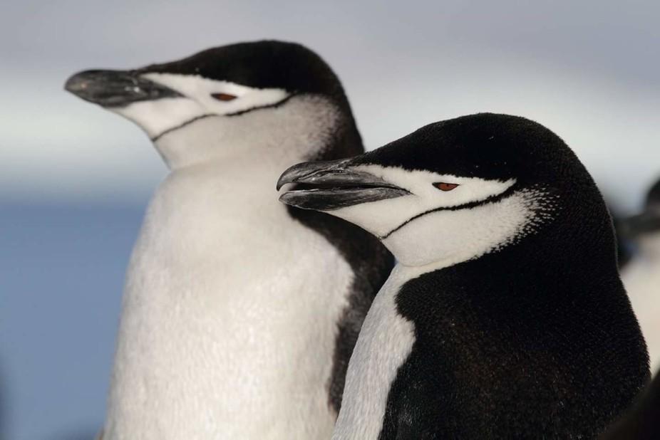 Chinstrap penguins on guard, Antarctica