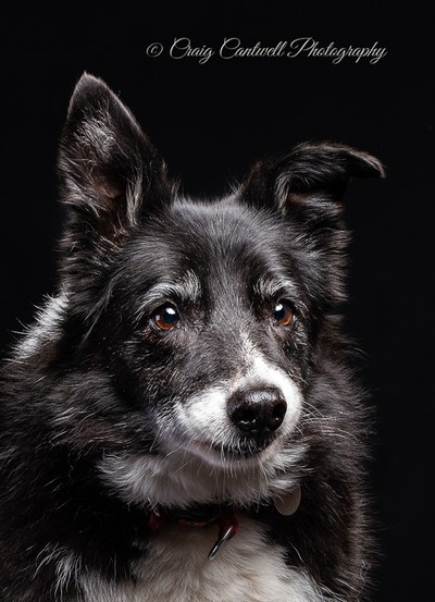 Ellie the ageing Border Collie