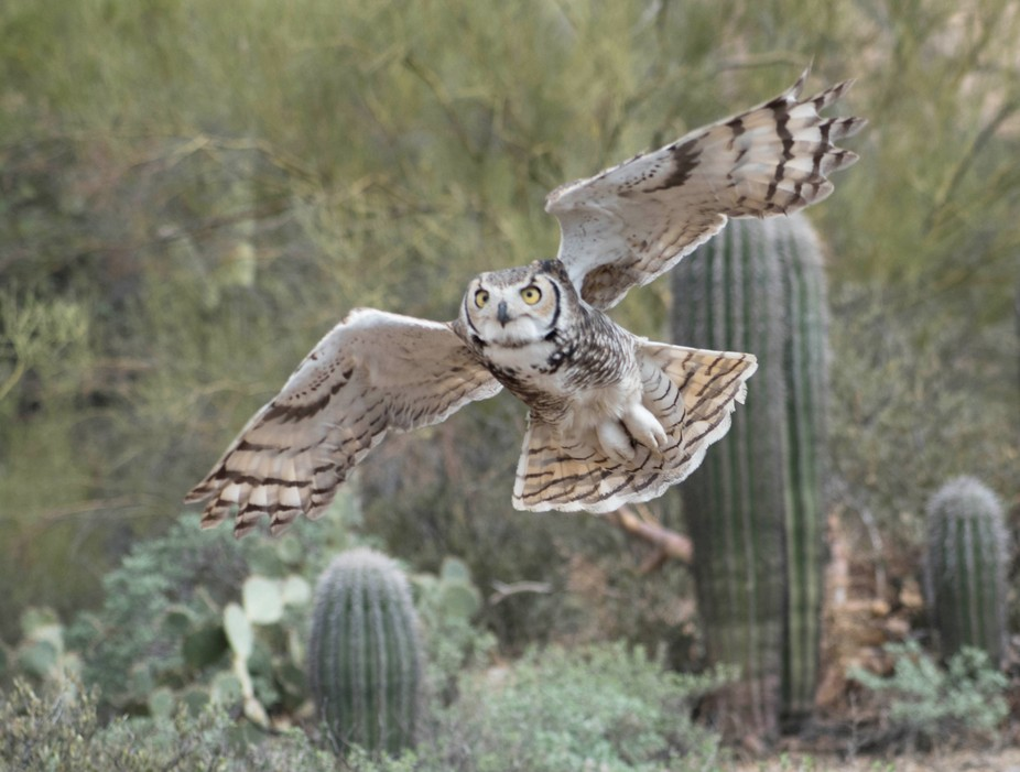 I caught this great horned owl flying towards me in the Sonoran Desert.  It was about to land