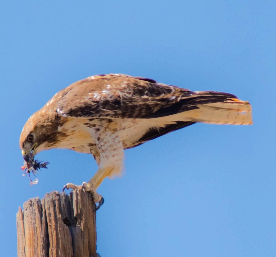 Red Tailed Hawk eating on top of a power pole