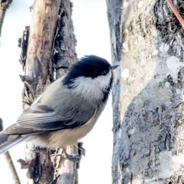0P6A1127-2Black Capped Chickadee