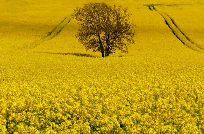 field of yellow by scruffyherbert - It is Yellow Photo Contest