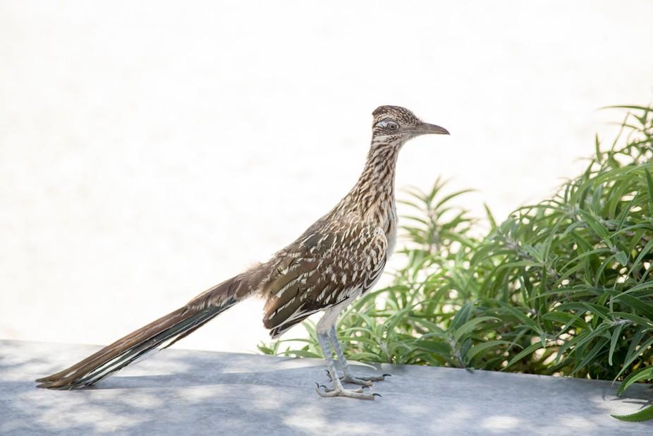 Marfa, Texas is a great place to see roadrunners, whether it be out in the country or in the city...