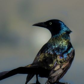 Shimmery black bird.