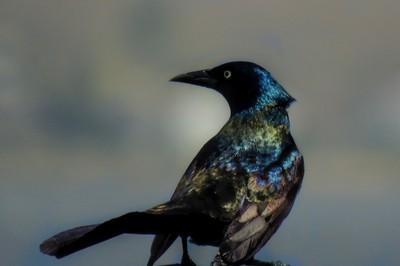 Shimmery black bird.