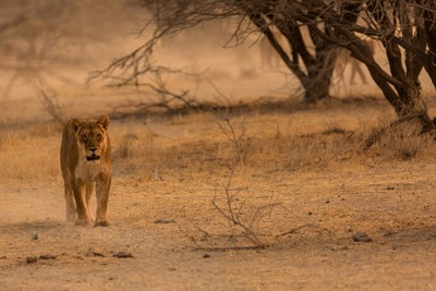 Out of the thickets Lion Pride Ungarva Namibia 2018 copy
