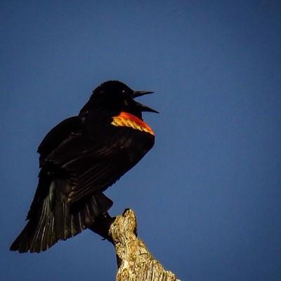 Conk-la-ree! Male Red-winged Blackbird proclaiming his territory.  #trailsend #redwingedblackbird #passerine #birding #birdphotography #birdwatching #wander #wetlands #outthebackdoor #backyardnature #pocket_birds #mybirdwatch #best_birds_of_world #elite_w