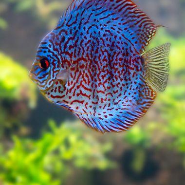 Blue Fish Red Fish this fish