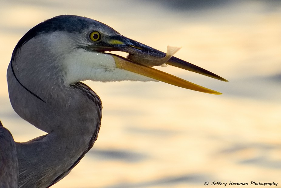 Heron with an evening meal.