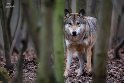 The grey wolf (Canis lupus)