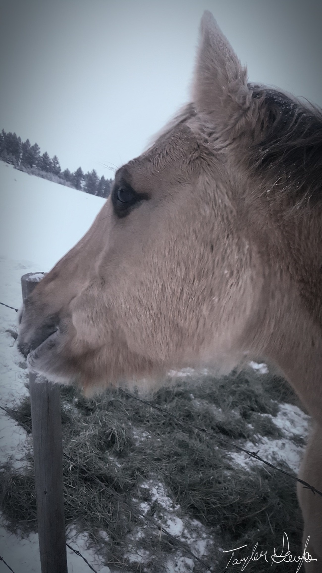 My pony greeting me with love. As Montana has a long snowy season this year, her coat keeps her warm.