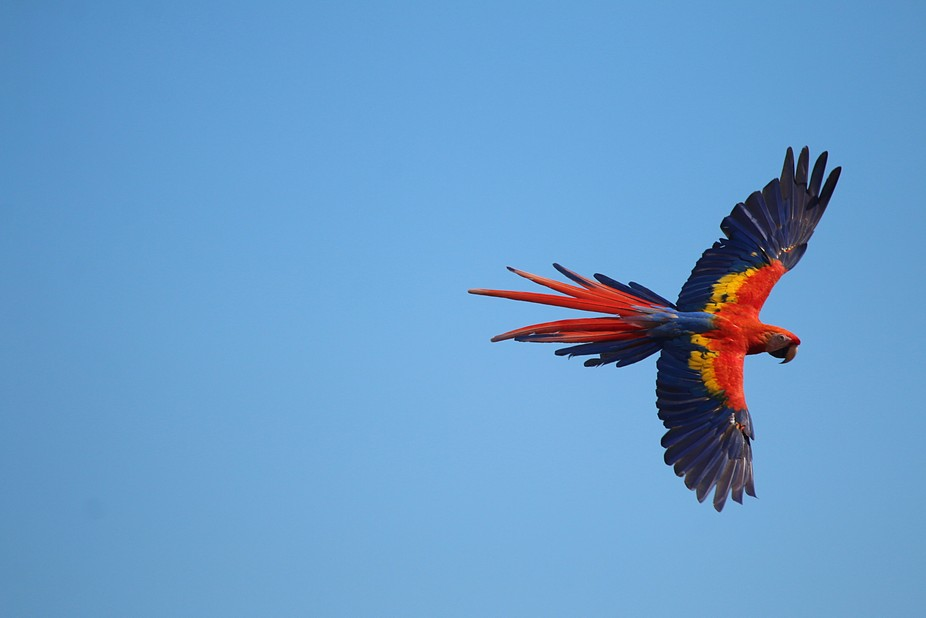 A red macaw flies by with its wings spread open.  Enough said about the resplendent colors of thi...