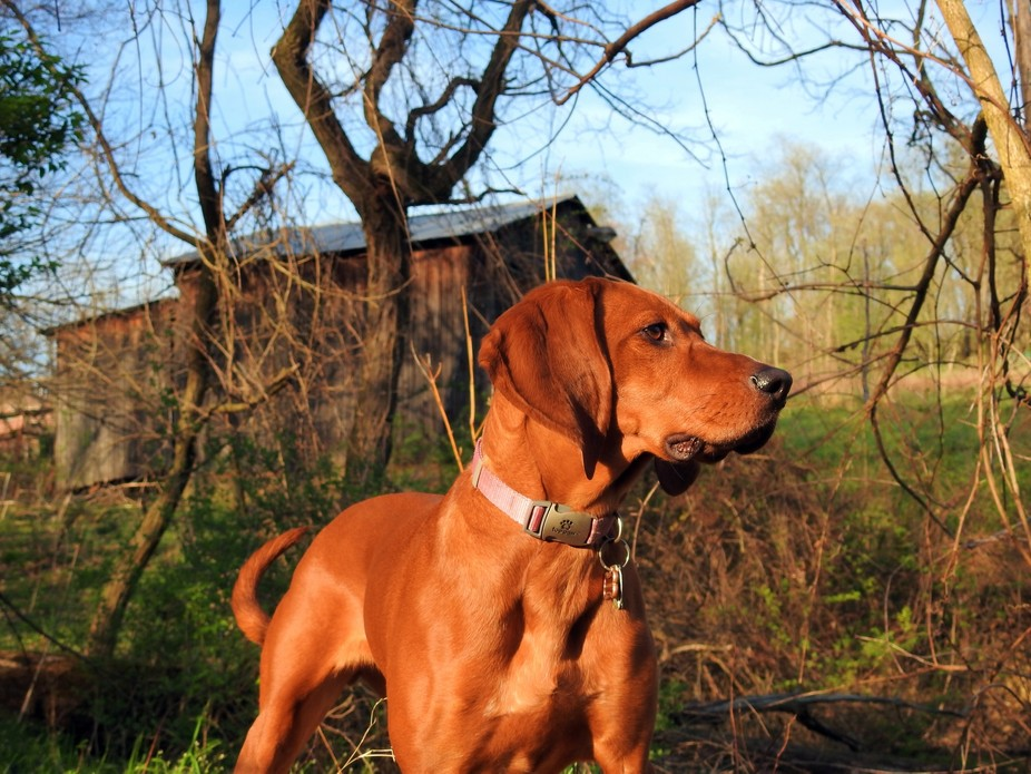 Kady the Coonhound