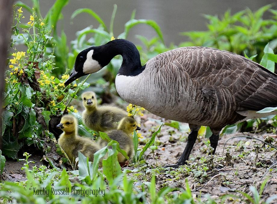 Canadian Geese & Goslings