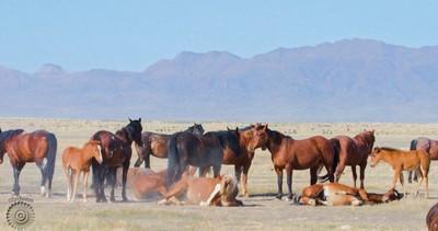 Onaqui Mountain Wild Horses
