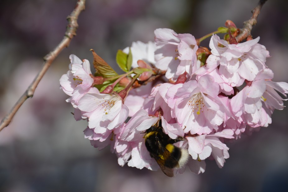 A bumblebee on a beautiful cherry Blossom. Springfeeling in Sweden.