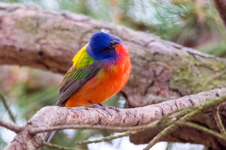 Male Painted Bunting tilts his head to see things from a different angle.
