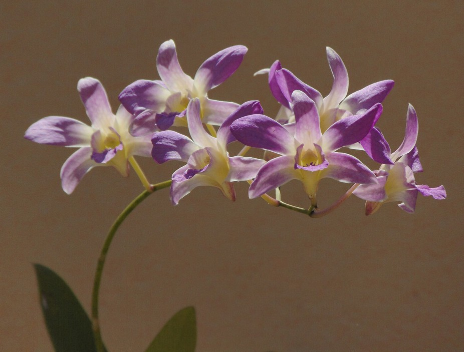 Cuban orchids from my yard to yours eyes.