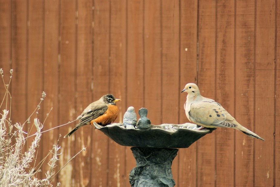 This robin was taking a bath and a dove came, wanting to drink. The robin politely moved to the o...