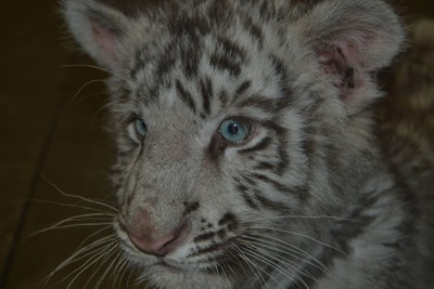 Baby White Tiger WWZ .1.13.17 DSC_0074 - Copy