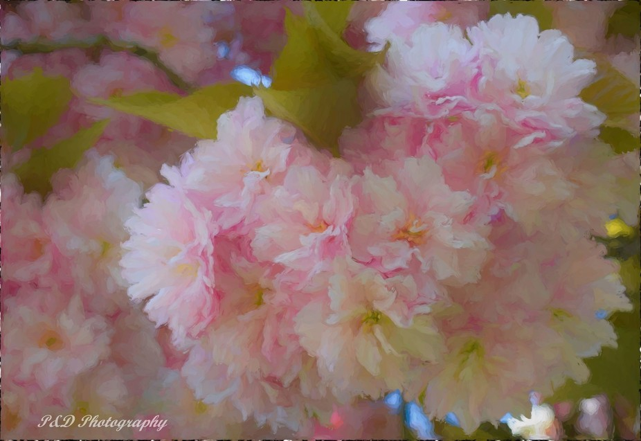 Cherry Blossoms Watercolour