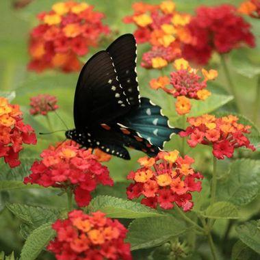 Summerflies