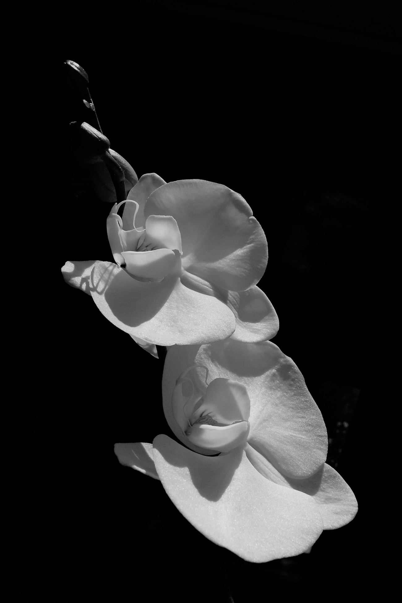 BW ORCHID