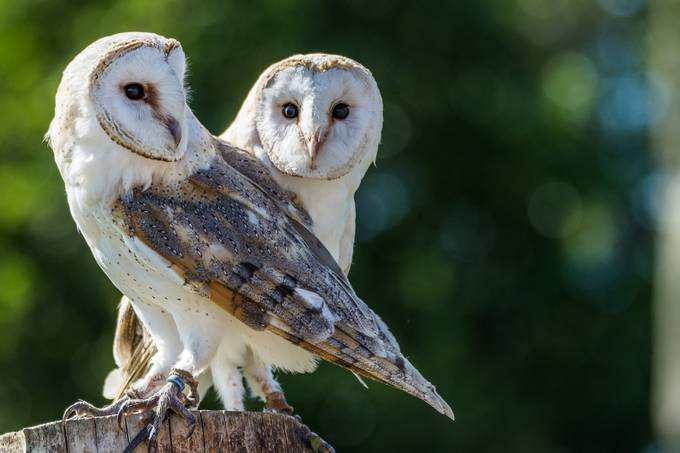 Barn Owls by Jaspa - Beautiful Owls Photo Contest
