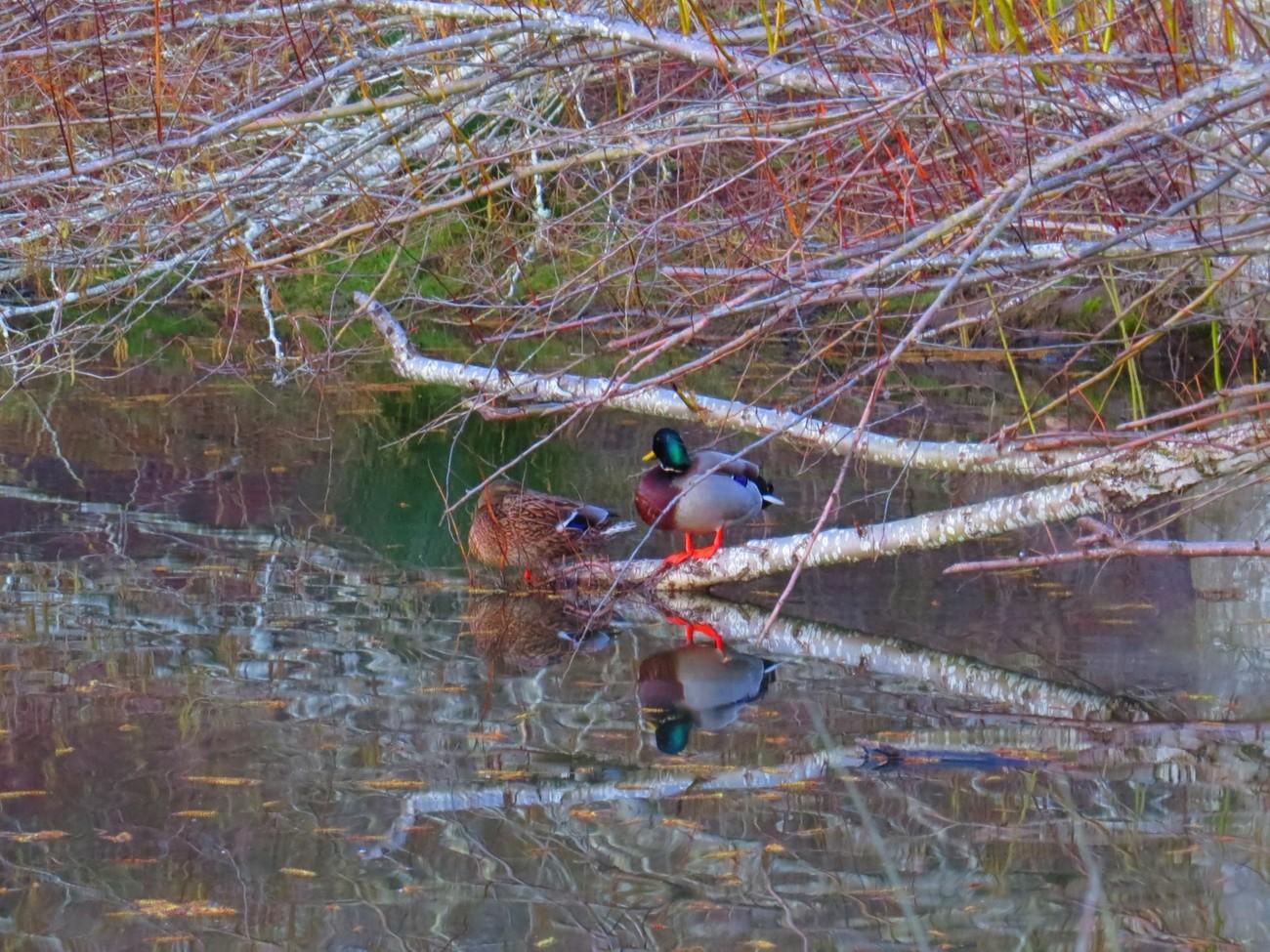 Ducks on a fallen tree