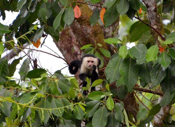 I loved watching these White-Faced Capuchins jump from branch to branch.