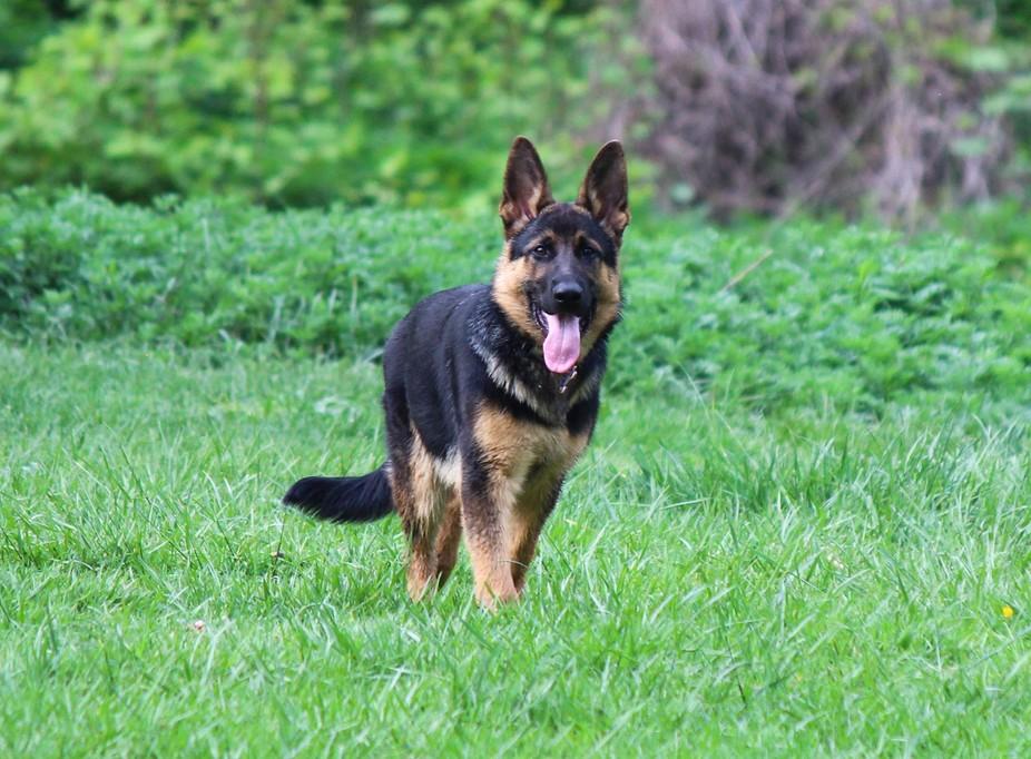 German Shepherd Pup IMG_9869-2