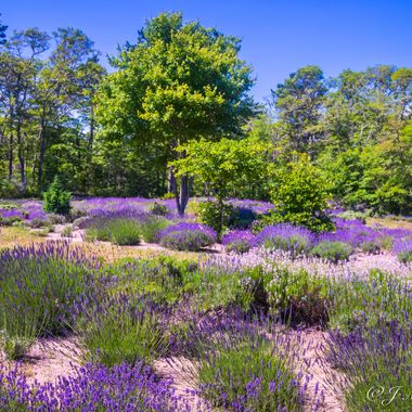 Lavender Garden Beauty 2