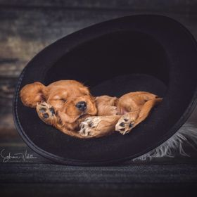 English Cocker Spaniel Puppy is sleeping