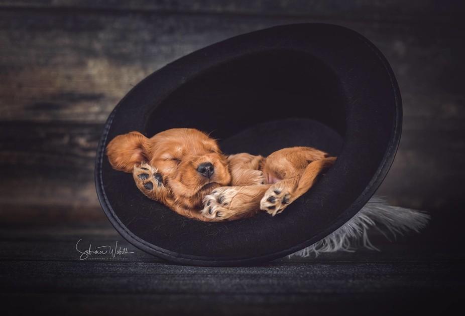 English Cocker Spaniel Puppy is sleeping