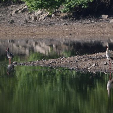 Black stork and white stork