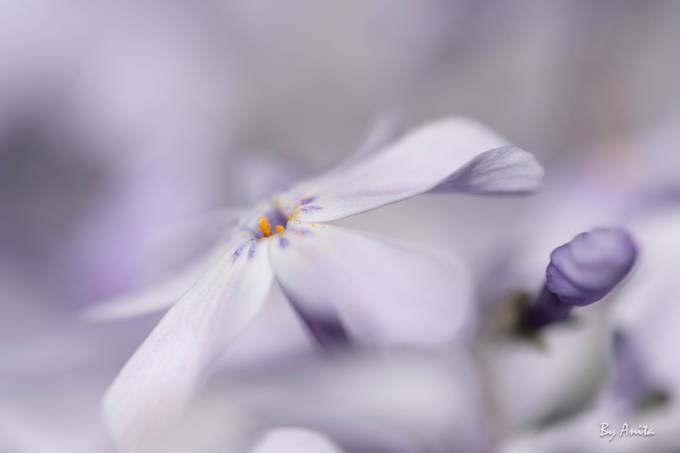 AMP_6783 Phlox_2018 by anitamuldernijhuis - Social Exposure Photo Contest Vol 16