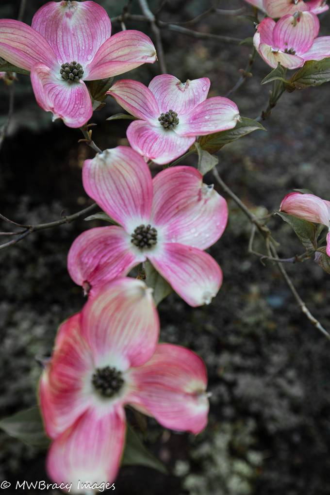 Dogwood blooms II (1 of 1)