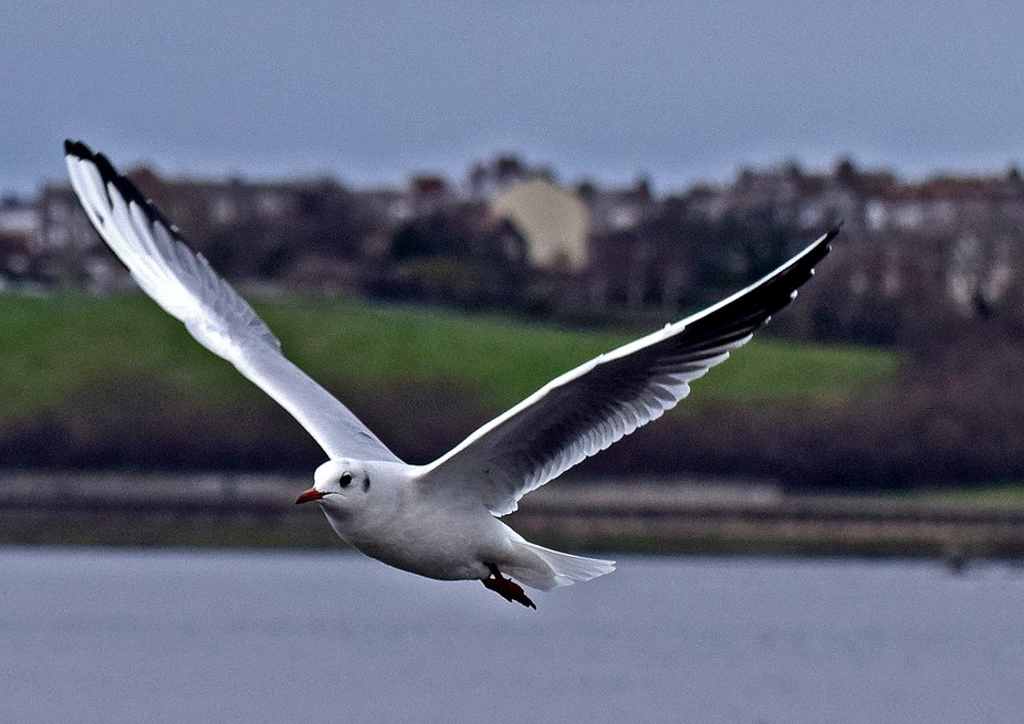 Gull in Flight over River Tyne Harbour.