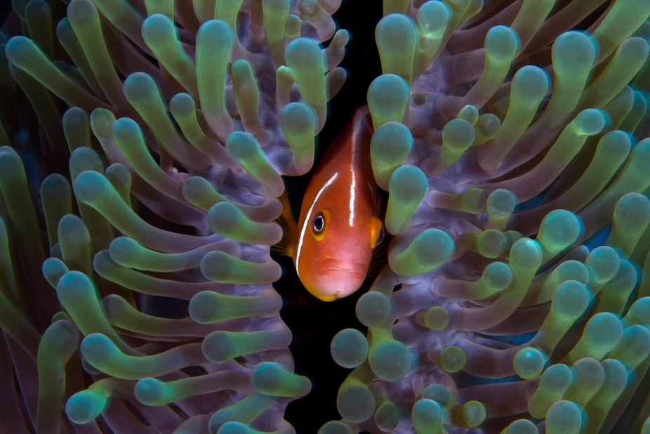 Clownfish hiding within the safety of the sting tentacles of its anemone home
