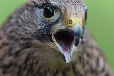 Angry Kestrel