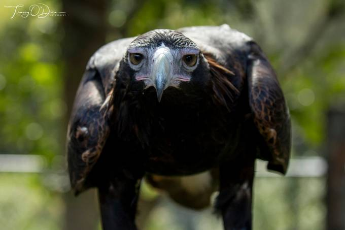 Here's looking at you kid. by Woombaway - Majestic Eagles Photo Contest