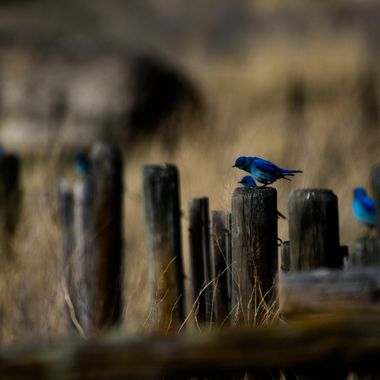 0P6A3537-2Mountain Bluebirds
