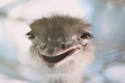 The Happy Ostrich