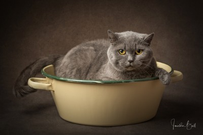 British Blue Shorthaired Cat