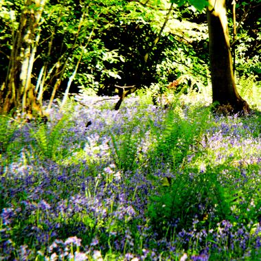 Bluebell Woods, Bacton, Norfolk,UK.