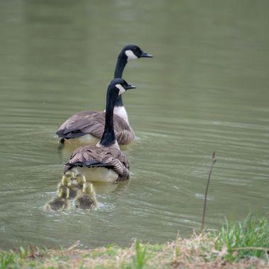 Canada Geese, Darnestown, MD., Backyard Pond DSC_1322