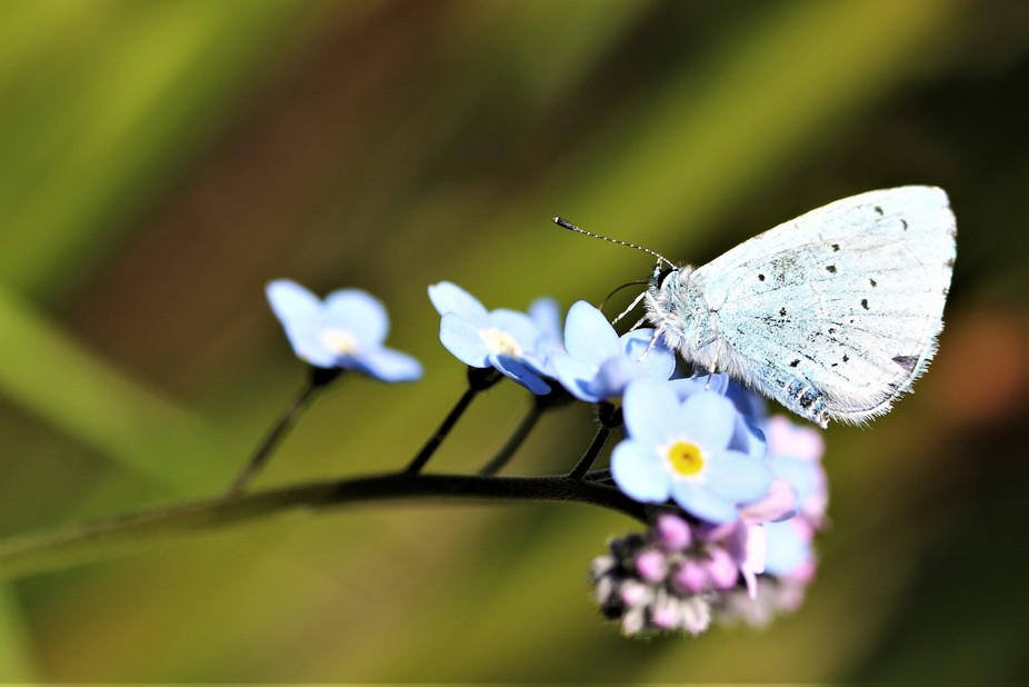 Small Blue Butterfly on Forget Me Not in my garden.